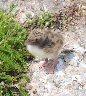 A week-old Common Tern chick