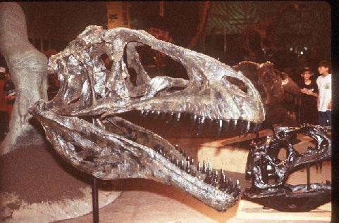 Skull of 'Fran' the Acrocanthosaurus