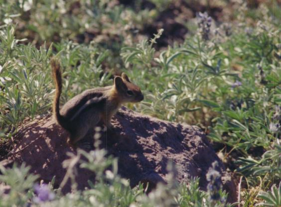 Western Ground Squirrel